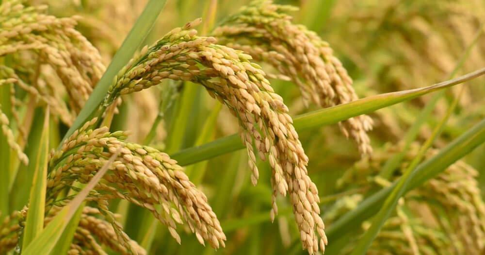 Rice Paddy Rice Milling Machine Manufacturer